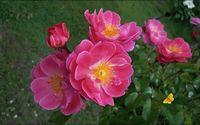 Pink roses [5] wallpaper 1920x1200 jpg
