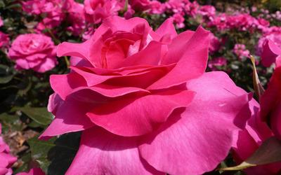 Pink roses [3] wallpaper