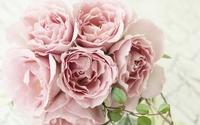 Pink roses [9] wallpaper 1920x1200 jpg