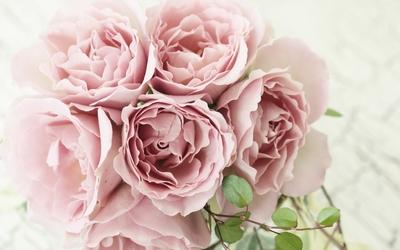 Pink roses [9] wallpaper