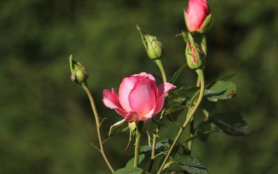 Pink roses [7] wallpaper