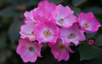 Pink roses [6] wallpaper 3840x2160 jpg