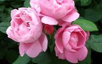 Pink roses [4] wallpaper 1920x1200 jpg