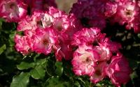 Pink roses [10] wallpaper 1920x1200 jpg