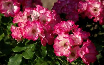 Pink roses [10] wallpaper