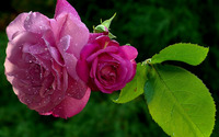 Pink roses with dew drops wallpaper 1920x1200 jpg