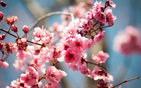 Pink spring blossoms wallpaper 1920x1200 jpg