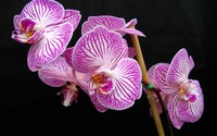Pink striped orchids wallpaper 1920x1200 jpg