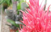 Pink succulent wallpaper 2880x1800 jpg