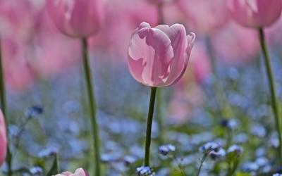 Pink tulip in the garden wallpaper