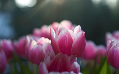 Pink tulips [7] wallpaper
