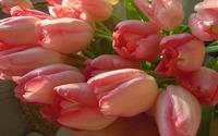 Pink tulips [8] wallpaper 1920x1200 jpg