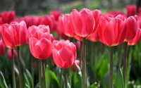 Pink tulips [6] wallpaper 2560x1600 jpg