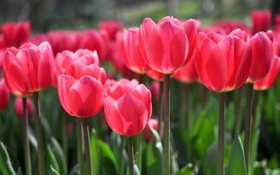 Pink tulips [6] wallpaper
