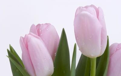 Pink tulips [2] wallpaper