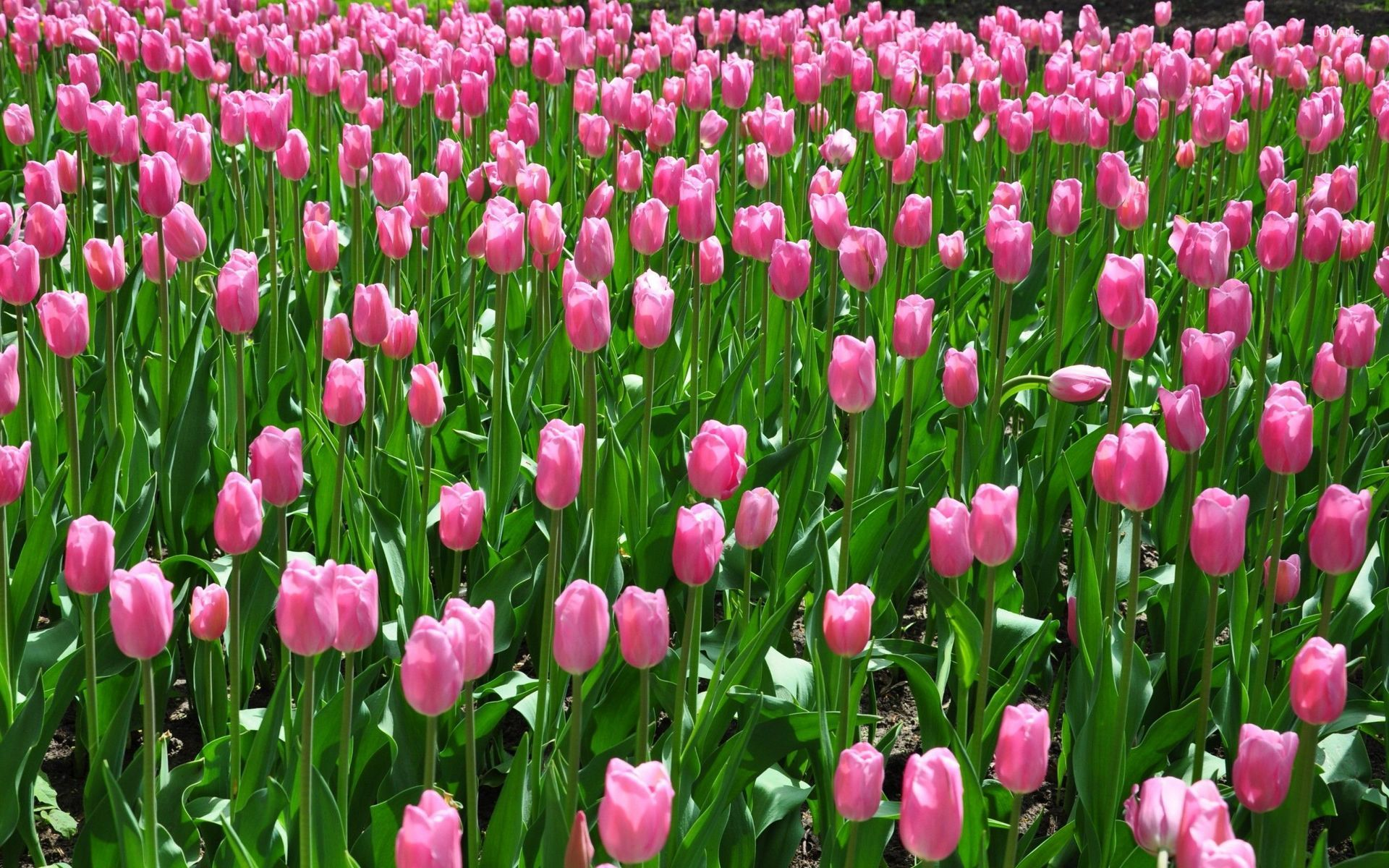 pink tulips on the field wallpaper flower wallpapers