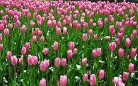 Pink tulips on the field wallpaper 2560x1600 jpg