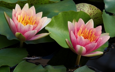Pink water lilies [2] wallpaper