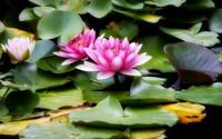 Pink water lilies wallpaper 1920x1200 jpg