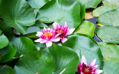 Pink water lilies [3] wallpaper