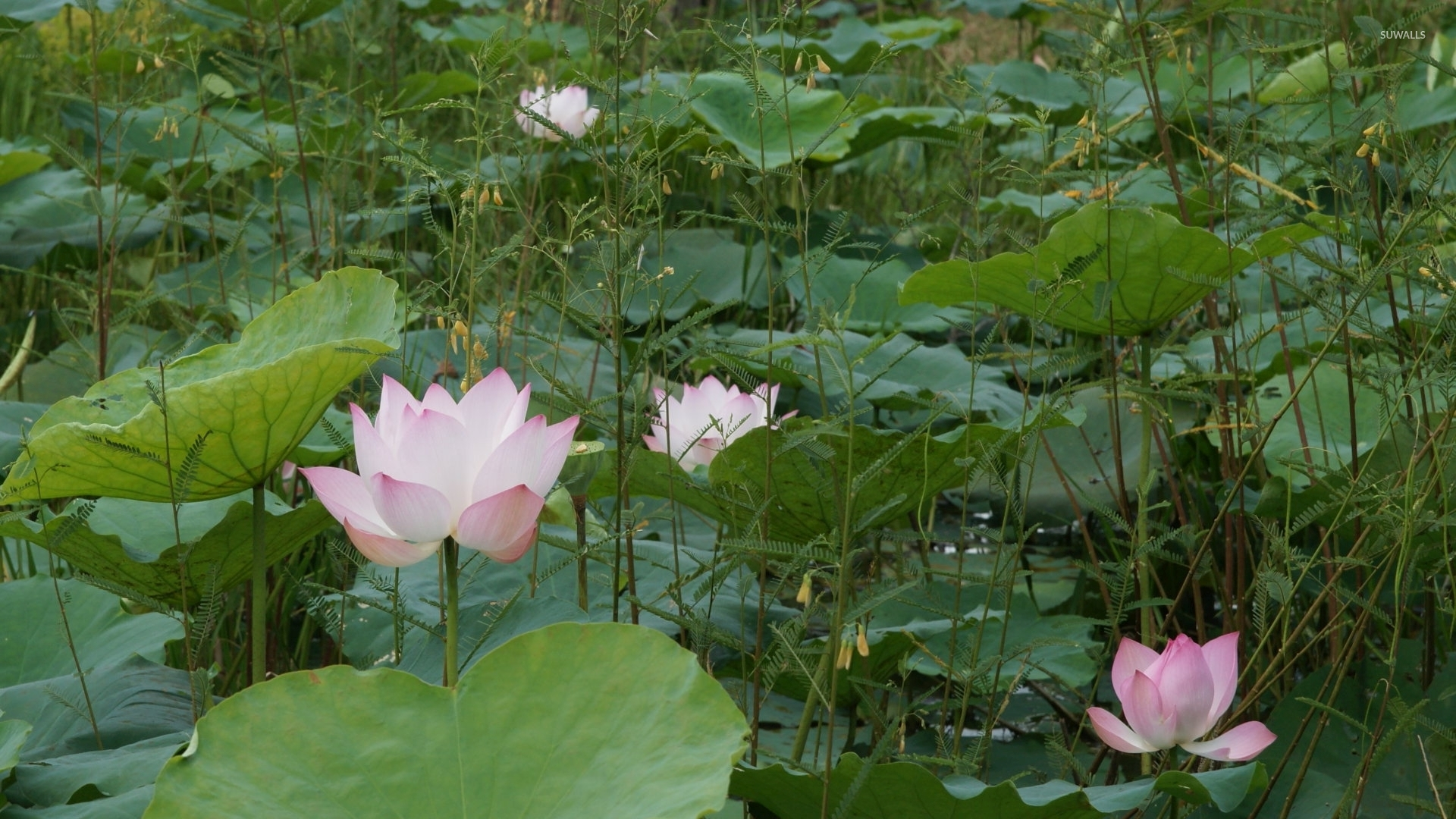 Pink water lilies pieces of color above the green plants wallpaper pink water lilies pieces of color above the green plants wallpaper izmirmasajfo