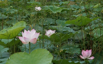 Pink water lilies pieces of color above the green plants wallpaper