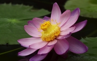 Pink water lily with water drops wallpaper 2560x1600 jpg