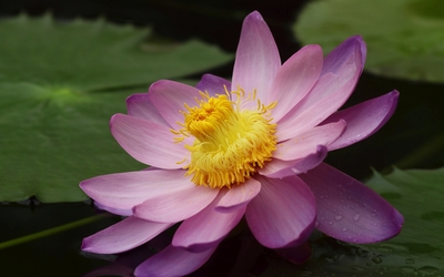 Pink water lily with water drops wallpaper
