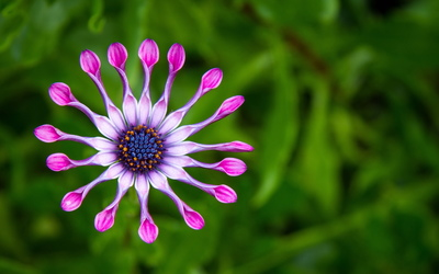 Pink Whirls Osteospermum wallpaper