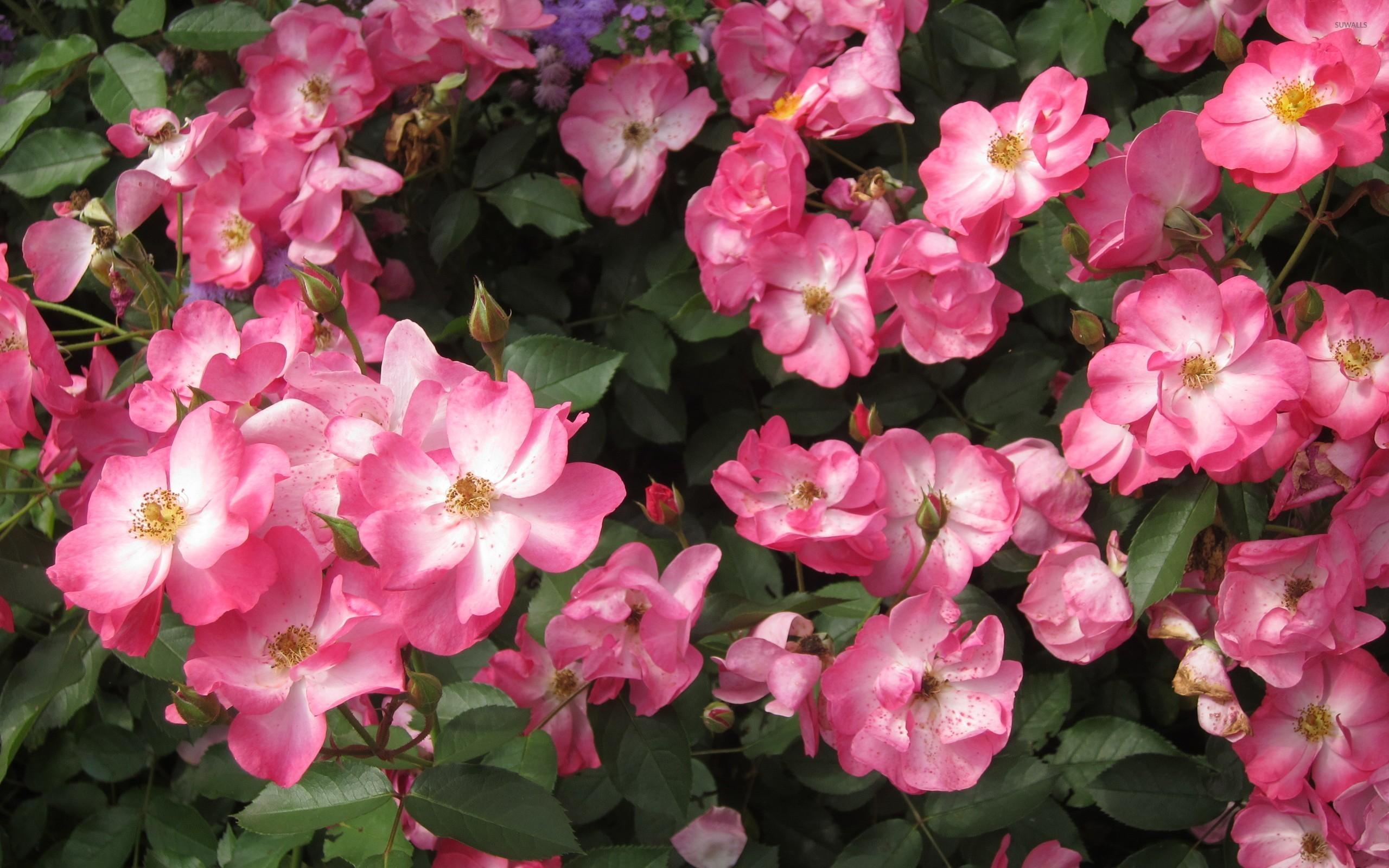 pink wild roses wallpaper flower wallpapers 43986. Black Bedroom Furniture Sets. Home Design Ideas