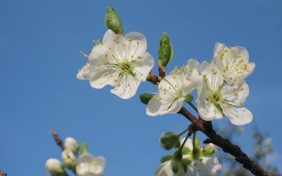 Plum blossoms [2] wallpaper