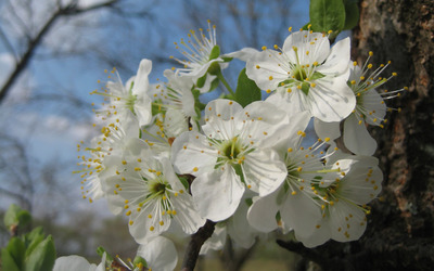 Plum blossoms wallpaper