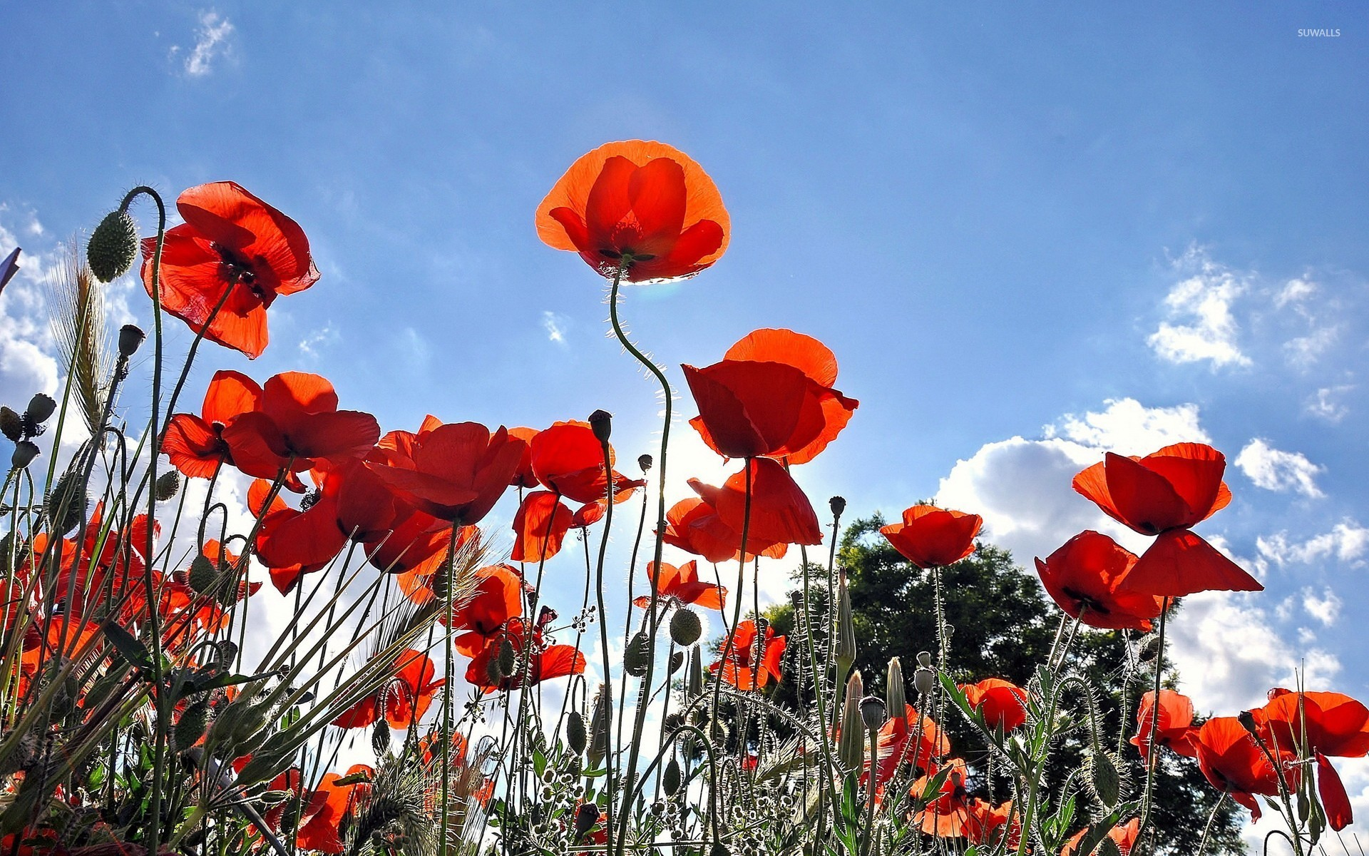 poppies wallpaper - flower wallpapers - #11490