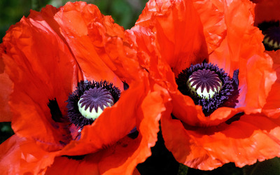 Poppies [3] wallpaper