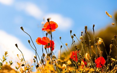 Poppies [2] wallpaper