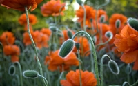 Poppies [4] wallpaper 1920x1080 jpg