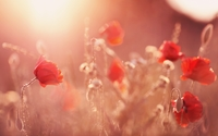 Poppies [10] wallpaper 2560x1600 jpg