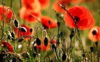 Poppies [12] wallpaper 1920x1200 jpg