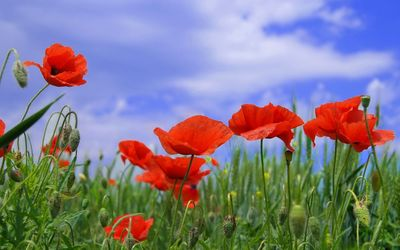 Poppies [11] wallpaper