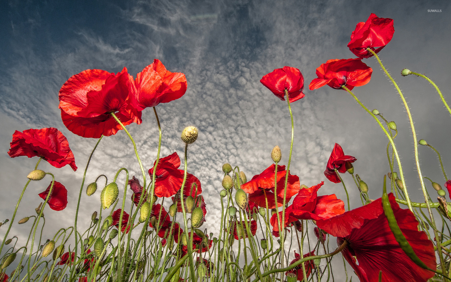 poppies [6] wallpaper - flower wallpapers - #35226