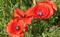 Poppies [8] wallpaper 1920x1200 jpg