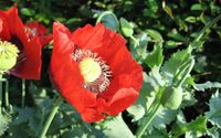 Poppies [7] wallpaper 2560x1600 jpg
