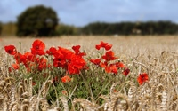 Poppies in hay field wallpaper 1920x1200 jpg