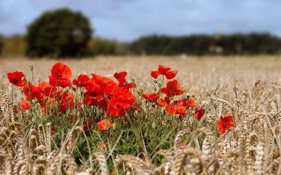 Poppies in hay field wallpaper