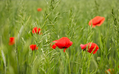 Poppies in the field wallpaper
