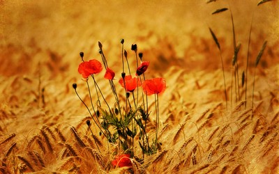 Poppies in the wheat field wallpaper