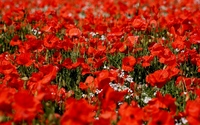 Poppies on a field wallpaper 2560x1600 jpg