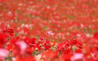 Poppies standing out from the poppy field wallpaper 1920x1200 jpg