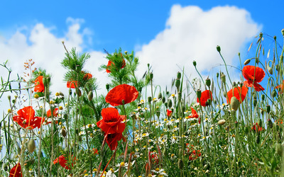 Poppy field [3] wallpaper