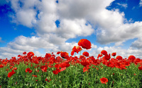 Poppy field wallpaper 1920x1200 jpg